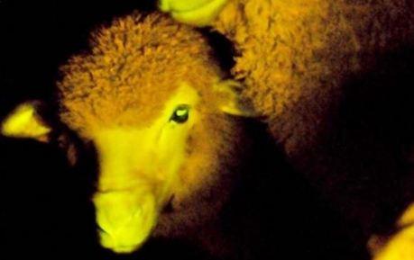 Moutons-transgéniques-et-phosphorescents